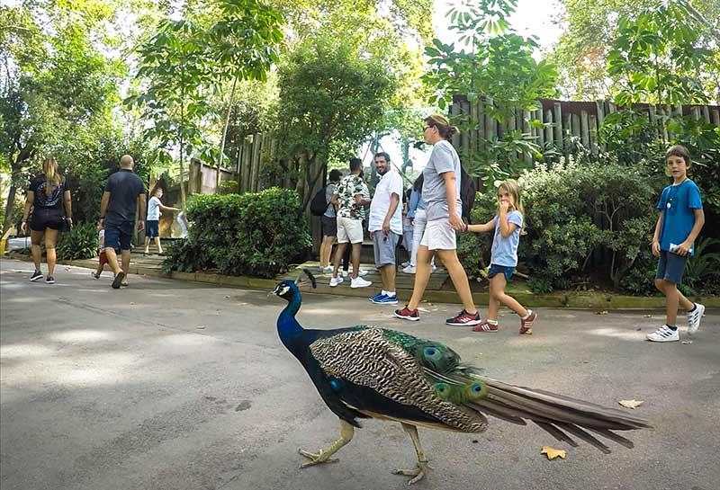 zoo de barcelone paon